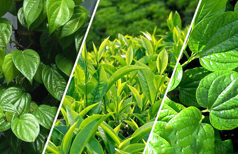 Sử dụng lá trầu không và lá trà xanh trong việc điều trị viêm nhiễm phụ khoa